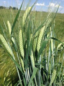 Certified CDC Austenson Seed Barley