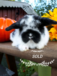 Beautiful Pedigreed Holland Lop Bunnies SOLD❤