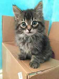 Free kittens looking for new homes! Kawartha Lakes Peterborough Area image 1