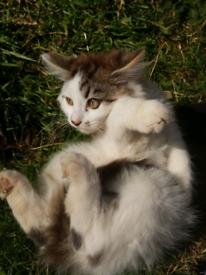 Cute long hair Persian kittens