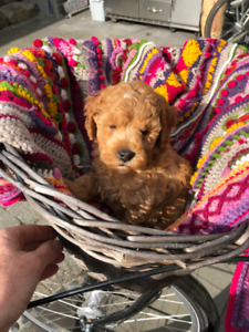 "Red Male Miniature Poodle Puppy - ""Chewbacca"""