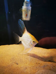 Large Freshwater Angelfish
