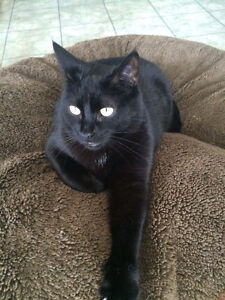 """Short haired female cat black """"MEADOW"""" London Ontario image 1"""