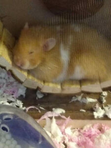 Hamster female Syrian Sarah and lots of items