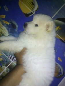 SAMOYED puppies 1Male 1 female left !