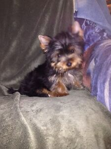 Book now. CKC Registered Yorkshire Terrier