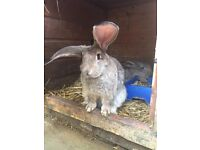 Continental giant X French Lop Baby Rabbits