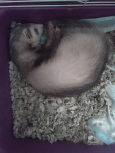 NEED TO REHOME MY FERRET!