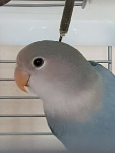 Young Dilute Lavender Lovebird