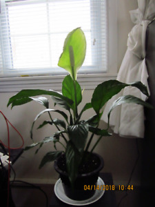 Peace Lily (Spathiphyllum) - Air Purifying and Bedroom Plant