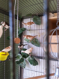 Young society finches for sale