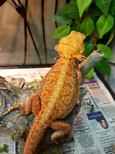 Speciality morph Bearded dragons available