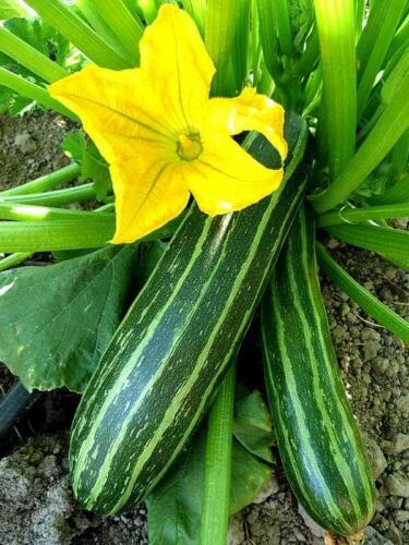 Cocozelle Zucchini Summer Squash Seeds, NON-GMO, Cocozella di Napoli, FREE SHIP