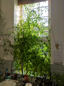 Tomato Plants, free to collect