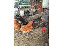 Buff chamois Polish roosters FREE (birds, poultry, chicken)