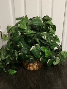 Silk Plant with basket.