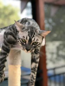 Bengal Cat (male)
