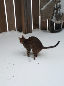 Looking for Male Bengal