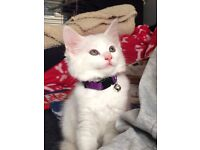 Ragdoll cross kitten forsale