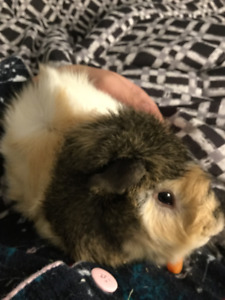 Free Guinea pigs with supplies