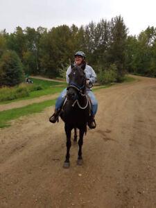 Canadian cross mare