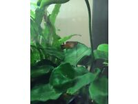 Platy fish - free to good homes