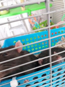 rats (large cage included)