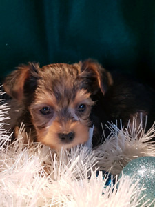 YORKSHIRE TERRIER (YORKIE) PUPPIES READY FOR CHRISTMAS