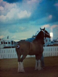 Pair of 11 Year old Clydesdales