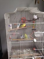 Budgies and cage .