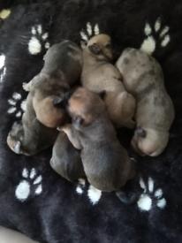 French bulldog x chihuahua pups