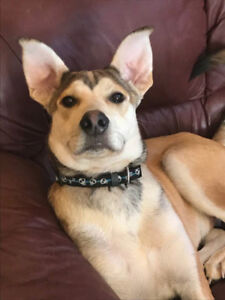 Paws for Love dog rescue has a 5 month husky mix for adoption