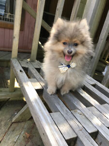 Adorable purebred Pomeranian puppy only one male