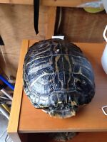 Big big red eared slider turtle looking for new owner