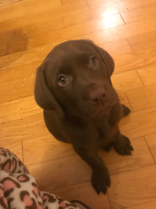 chocolate female lab pup rehome
