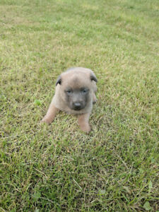 Dutch Shepherd / Malinois Puppies Available To Working Homes