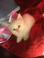 Beautiful Ragdoll Kittens Available