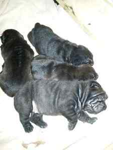 Shar-pei puppies for sale.