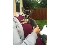 Chihuahua for sale (blue female )