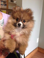 Pomerian pup for sale