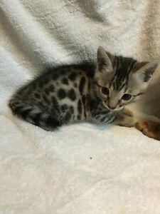 TICA Registered Leopard spotted Bengal kittens