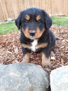 Puppies for Sale - Bernese Mix