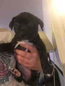 Puppies to sell - chiots a vendre