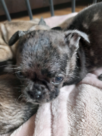 Frenchie Pugs Puppies for Sale🐕💖💙