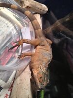 Young Red Iguana