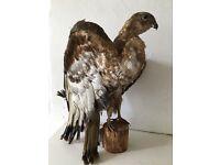 Taxidermy Falcon