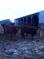 40 Red Angus Simmental Cross open heifers for sale