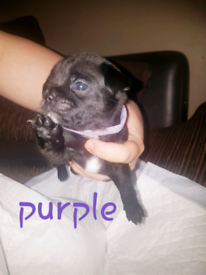 Pug x   Dogs & Puppies for Sale - Gumtree