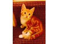 Ginger and white kitten (male). Persian cross mother