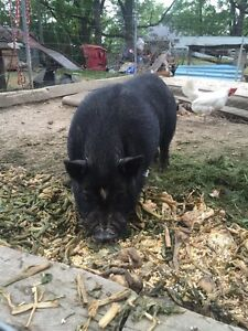 Two male pot belly pigs for sale